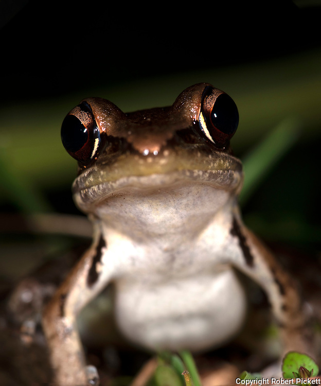 Gravenhorst's Frog, Hydrophylax gracilis, Sinharaja World Heritage Site, Sri Lanka, on ground in forest, at night