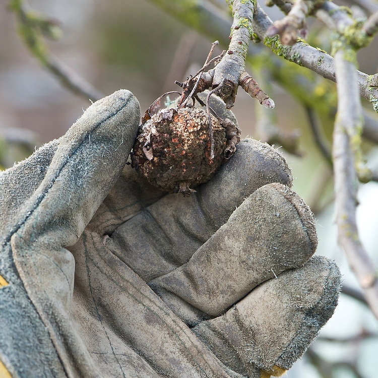 At the end of the year, remove any rotting apples that still remain on the tree.