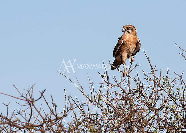 This brown falcon was very tolerant as we photographed it from the road in Cape Range National Park.
