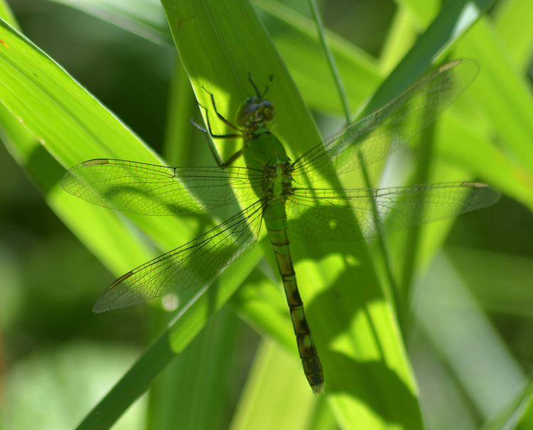 Dragonfly seen in the Esopus Bend Nature Preserve in Saugerties, NY, on Wednesday, June 14, 2017. Photo by Jim Peppler. Copyright/Jim Peppler-2017.
