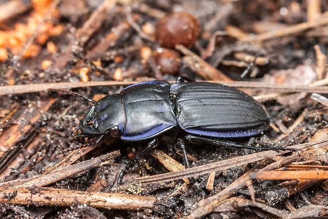 Margined Warrior Beetle (Pasimachus marginatus)