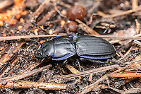 Margined Warrior Beetle (Pasimachus marginatus)