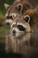 Northern Raccoon (Procyon lotor), adults at night drinking from wetland lake, Fennessey Ranch, Refugio, Coastal Bend, Texas Coast, USA