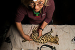 Black-footed Cat (Felis nigripes) veterinarian, Birgit Eggers, checking temperature of male during collaring, Benfontein Nature Reserve, South Africa