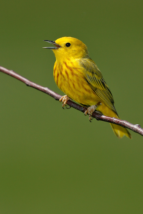 American Yellow Warbler - Setophaga petechia - Adult male