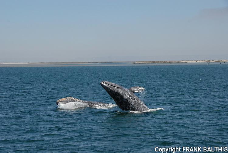 Double gray whale breach