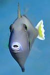 Barred filefish, Cantherhines demerilii, Fiji