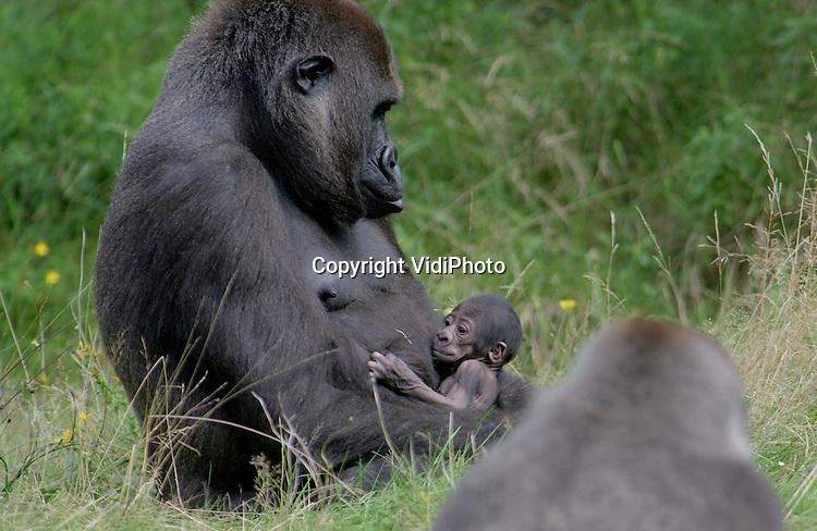 Foto: VidiPhoto..APELDOORN - In de Apenheul in Apeldoorn zijn gorillaleider Jambo en het elfjarige vrouwtje Kisiwa moeder geworden. Voor Kisiwa was het de eerste bevalling. Vrijdag tijdens de tweede voerdersessie was het jonkie voor het eerst goed te zien voor het publiek. De veertienjarige Jambo is pas twee jaar leider van de gorillagroep, maar dit is al zijn derde nakomeling.