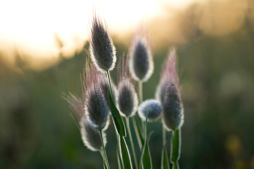 Hare's tail grass (Lagurus sp.), Apulia; Gargano Peninsula; Italy