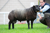 N.S.A Wales & Border Ram Sales, Royal Welsh Showgound<br /> Lot 1188 owned by Miss Nina Smith sold for 2200gns<br /> ©Tim Scrivener Photographer 07850 303986<br />      ....Covering Agriculture In The UK....