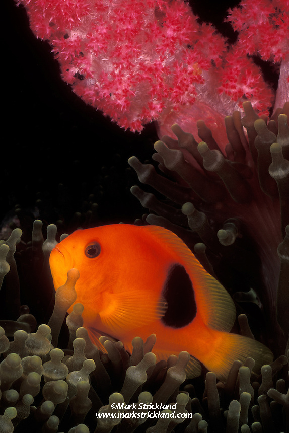 A Red Saddleback Anemonefish, Amphiprion ephippium, snuggles among the tentacles of its host anemone, under the branches of a soft coral colony.  Richelieu Rock, Thailand, Andaman Sea, Indian Ocean
