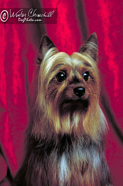 silky terrier Shopping cart has 3 Tabs:<br /> <br /> 1) Rights-Managed downloads for Commercial Use<br /> <br /> 2) Print sizes from wallet to 20x30<br /> <br /> 3) Merchandise items like T-shirts and refrigerator magnets