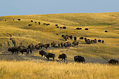 Buffalo Herd on Prairie