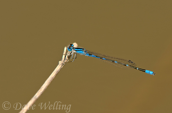 320190005 a wild male arroyo bluet enallagma praevarum damselfly perched on a stick over canon grande creek maverick county texas united states