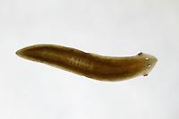 Europäische Bachplanarie, Dreieckstrudelwurm, Dreieck-Strudelwurm, Dreieckskopfstrudelwurm, Dreieckskopf-Strudelwurm, Planarie, Dugesia gonocephala, Planaria gonocephala, flatworm, Strudelwürmer, Turbellaria