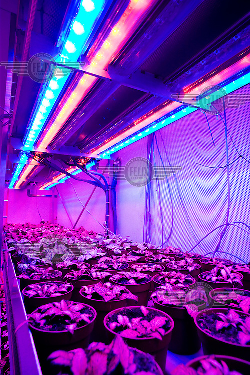 A greenhouse lit with LED lights in a colour combination  designed especially for this type of crop. This is an environmentally friendly experiment by the Plantlab Company to grow crops all year around. The lights are red, pink and blue, with temperature, air composition and nutrition all controlled. Within a few years the method should be ready for production, and could be exported and installed literally anywhere in the world..