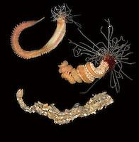 Thelepus cincinnatus