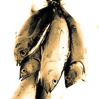Freshly caught tuna, Teahupoo, Tahiti, Sunday May 3 2009. Photo: joliphotos.com