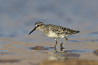 Broad-billed Sandpiper - Limicola falcinellus