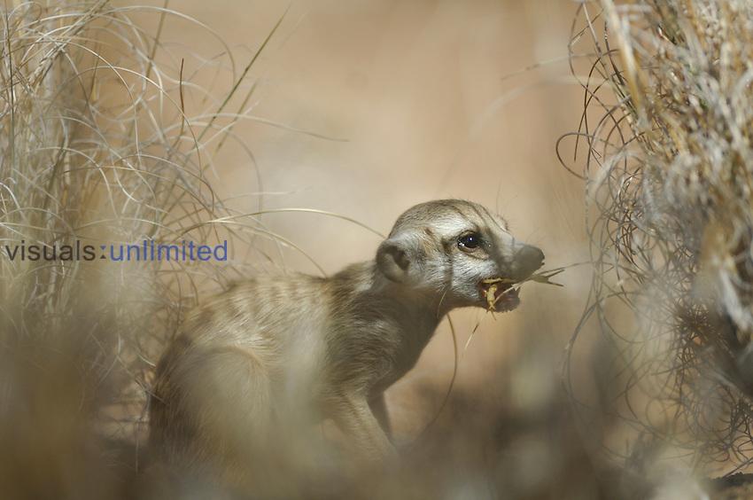 Suricate or Slender-tailed Meerkat (Suricata suricatta), Namibia.