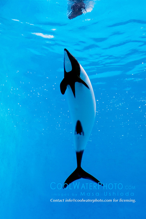 Commerson's dolphin, Cephalorhynchus commersonii (c), found only around western South Atlantic Ocean
