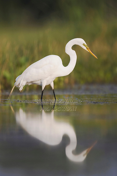 Great Egret (Ardea alba), adult, Sinton, Corpus Christi, Coastal Bend, Texas, USA