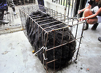 "Snoopy when she arrived from the bear bile farm in a body sized ""crush"" cage in 2003. Snoopy a female blind panda, recued six years ago from a bear bile farm to the China Bear Sanctury run by Animals Asia, today undergoes a medical precedure to restore eye-sight by removing the cateracts. It is the first time that the procedure has been carried-out on bears.  British opthalmasist Claudia Hartley of animal health Trust is carrying out the procedure with Australian David Donaldson also of AHT. <br /> <br /> photo by Richard Jones/sinopix"