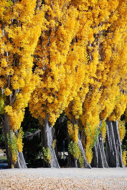 Row of golden poplars, Lake Wanaka, Autumn, Stock Image, New Zealand