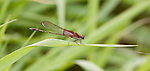 American Rubyspot (Hetaerin americana), Willoway Brook, The Morton Arboretum