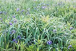 Blue Flag Iris in a wet meadow in Sullivan, Maine, USA