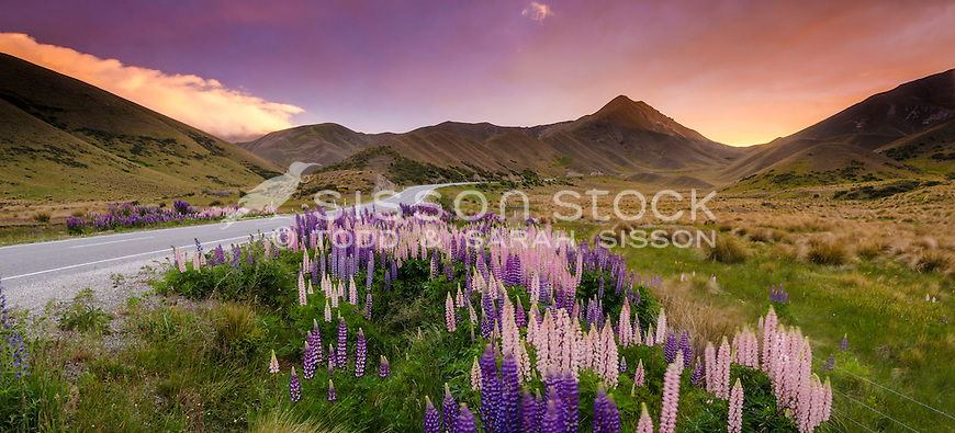Lupins beside road through the Lindis Pass, at sunset, Central Otago, South Island, New Zealand - stock photo, canvas, fine art print