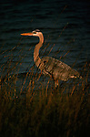 Great Blue Heron stands in the grass along water.