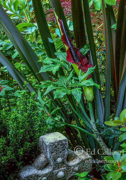 Dracunculus Vulgaris, Voodoo Lily, Arum Dracunculus, Cypress Garden, Mill Valley CA