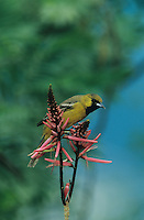 Orchard Oriole, Icterus spurius,young male feeding on Coral Bean Blossom(Erythrina herbacea), South Padre Island, Texas, USA, May 2005