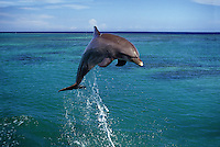 An Atlantic Bottlenose Dolphin, Tursiops truncatus, leaps into the Caribbean air,  Roatan, Honduras.