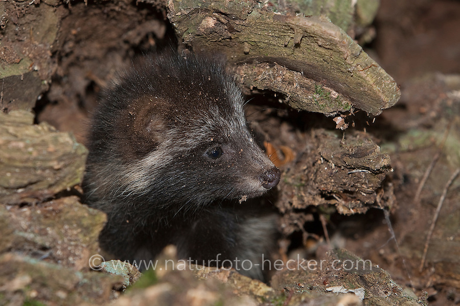 Marderhund, Jungtier in Baumhöhle, Marder-Hund, Enok, Seefuchs, Nyctereutes procyonoides, raccoon dog, Chien viverrin