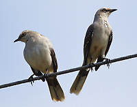Tropical mockingbird pair