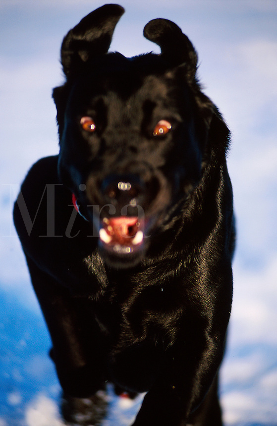 Portrait of the face of a scary Black Labrador dog running and leaping.