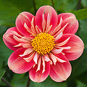 Dahlia 'Carstone Firebox', mid August.