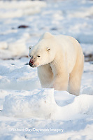 01874-12001 Polar Bear (Ursus maritimus) in winter, Churchill Wildlife Management Area, Churchill, MB Canada
