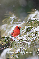 01530-23011 Northern Cardinal (Cardinalis cardinalis) male in pine tree in winter snow Marion Co. IL