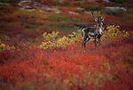 Portrait of a caribou in Denali National Park, Alaska.