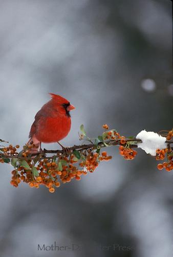 Male cardinal on branch of orange berries, Missouri USA