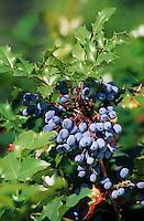 Gewöhnliche Mahonie, Früchte, Mahonia aquifolium, syn. Berberis aquifolium, Oregon Grape