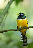 Probably the most common species of trogon I see during my Costa Rica trips.  They often perch low and close.