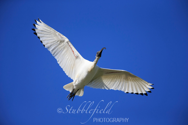 Australian Ibis (Threskiornis moluccus moluccus) in flight over Rymill Park in Adelaide, South Australia.