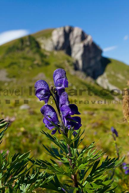 Blauer Eisenhut, Monkshood, Aconitum napellus, Lawenatal, Triesen, Liechtenstein.