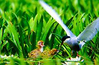 Weißbart-Seeschwalbe, Weißbartseeschwalbe, am Nest mit Küken, Seeschwalbe, Seeschwalben, Chlidonias hybrida, Chlidonias hybridus, Whiskered tern, Seeschwalben, Sternidae, terns, flight, Guifette moustac