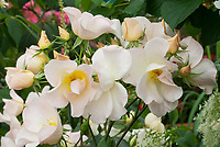 Rosa Sally Holmes roses, creakmy white and yellow buds, single, climbing David Austin roses
