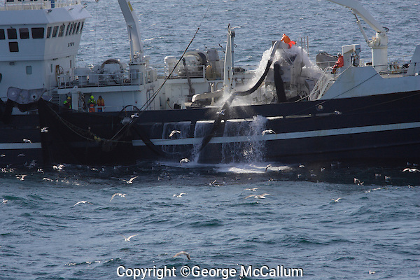 Purse Seine trawler pumping  herring directly into hold in Norwegian sea, North east Atlantic